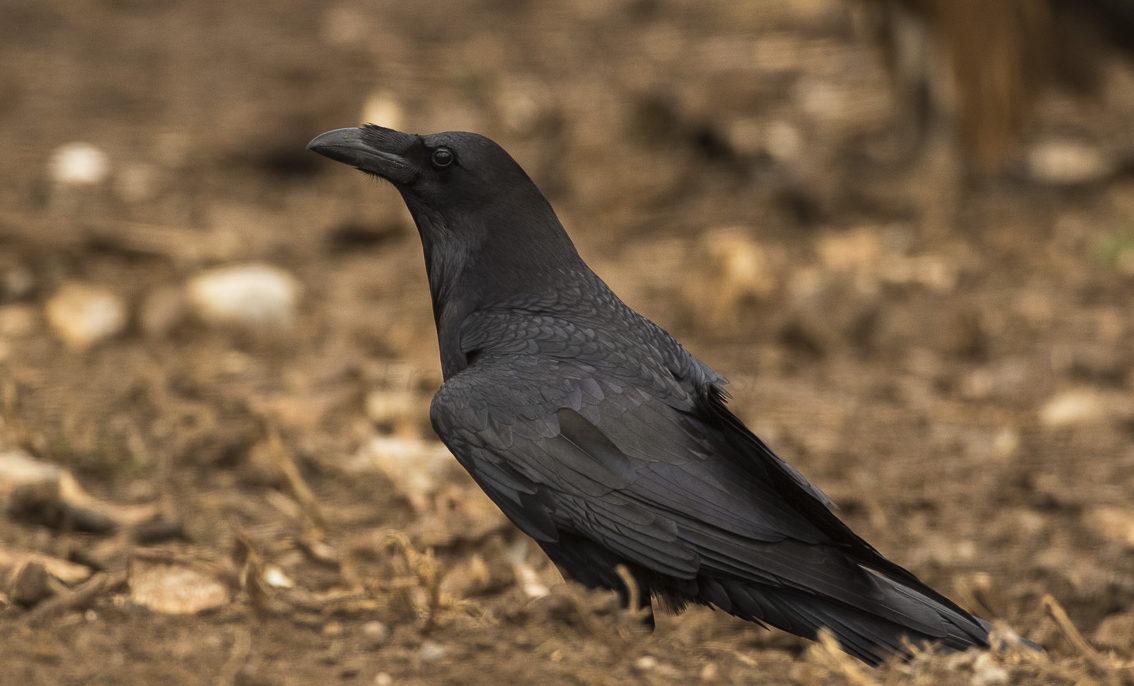 um-ave-grande-preta-está-pousada-de-perfil-no-solo-castanho