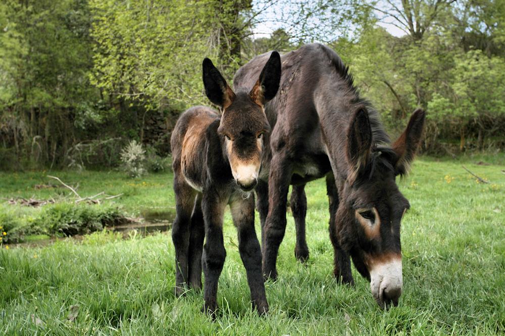 dois-burros-um-dos-quais-juvenil-pastam