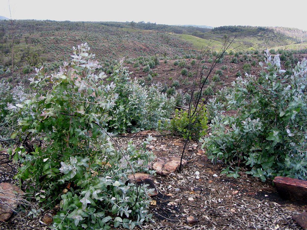 eucaliptos-ainda-muito-pequenos-plantados-num-terreno-sem-nada-mais-até-à-linha-do-horizonte