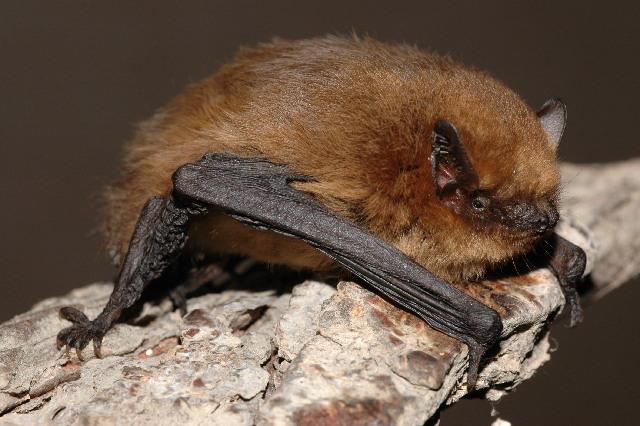 pequeno-morcego-castanho-agarrado-a-saliencia-rochosa