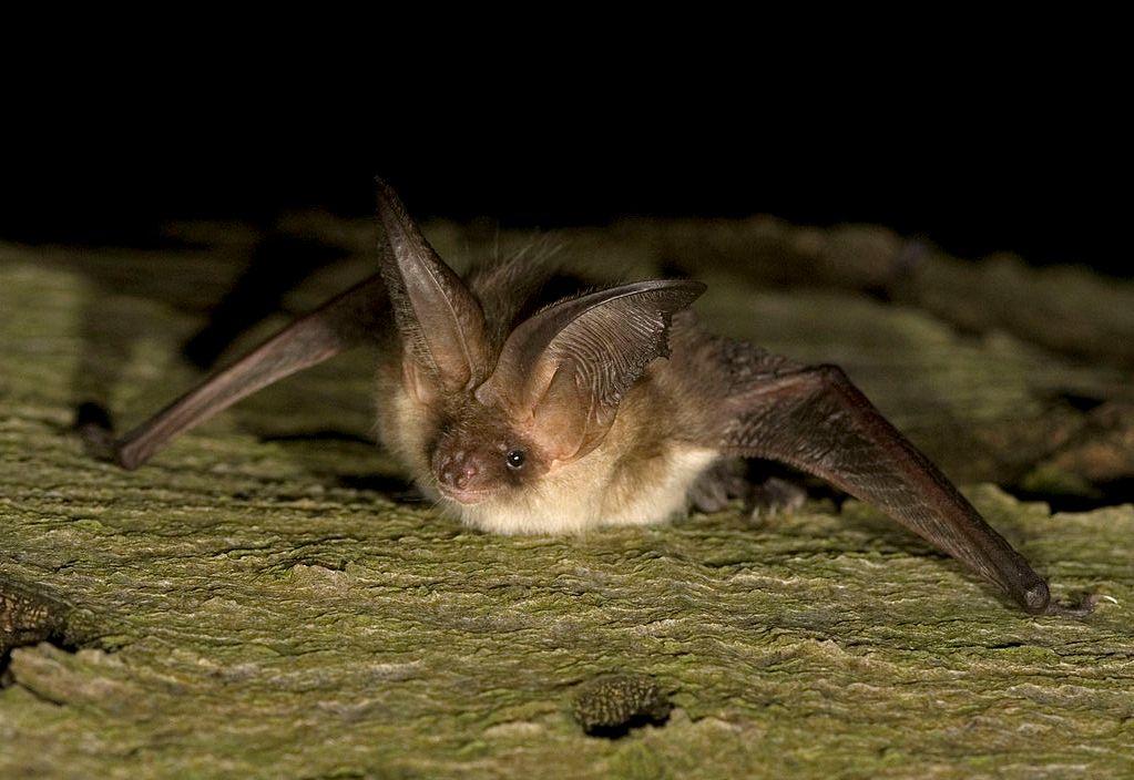 morcego-com-grandes-orelhas-pousado-numa-superfície-rochosa