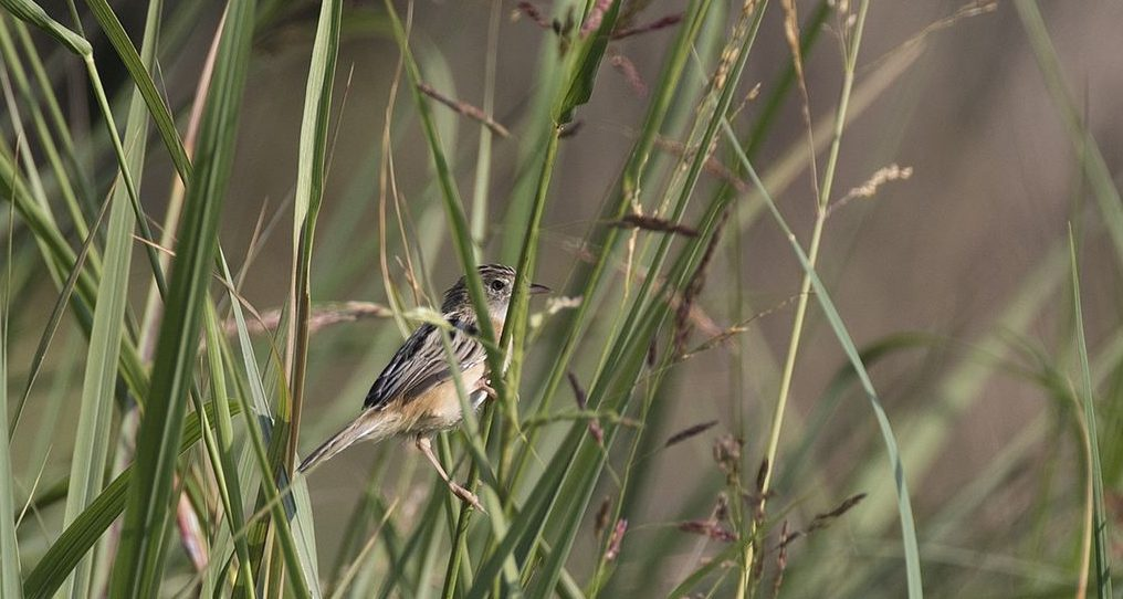 uma-pequenina-ave-está-pousada-entre-juncos-de-um-canavial