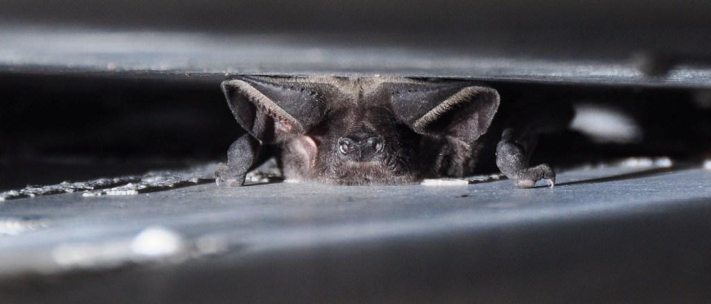 um-pequeno-morcego-espreita-dentro-de-uma-fenda-com-uma-minúscula-garra-à-mostra