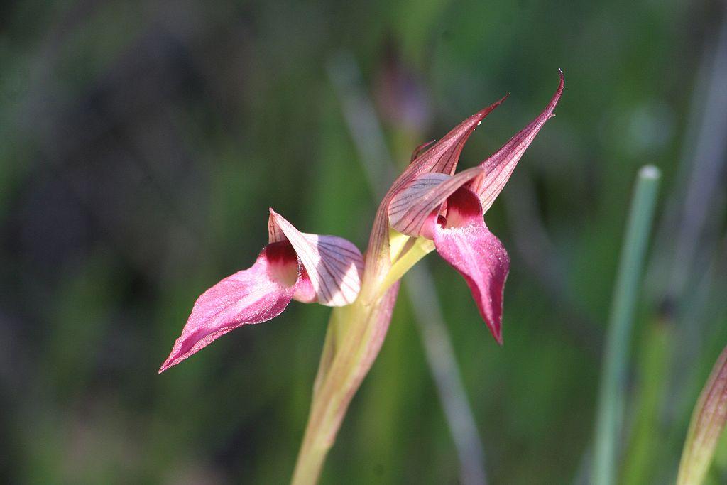 duas-flores-com-petalas-triangulares-brancas-e-violeta