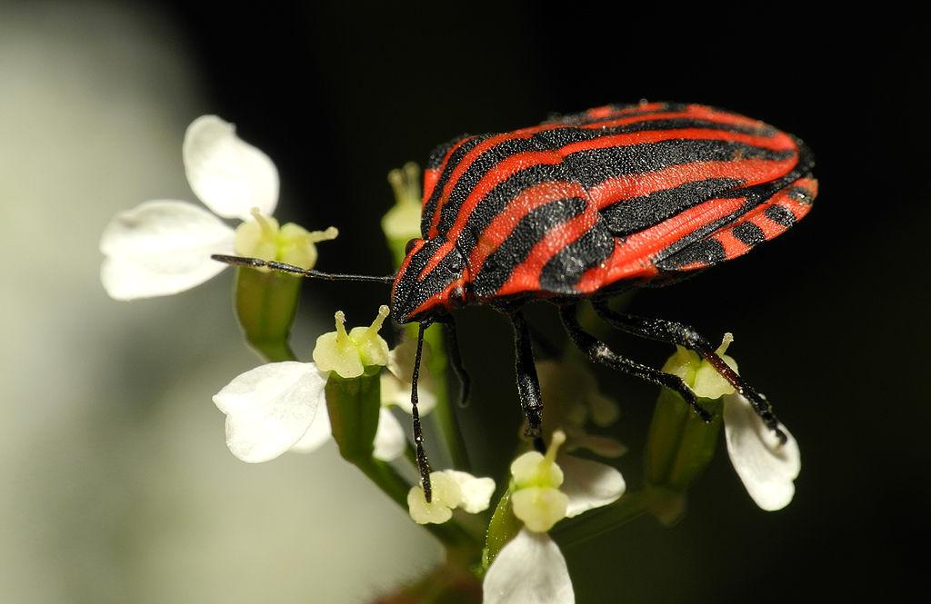 um-percevejo-de-corpo-achatado-vermelho-com-riscas-pretas-em-cima-de-flores