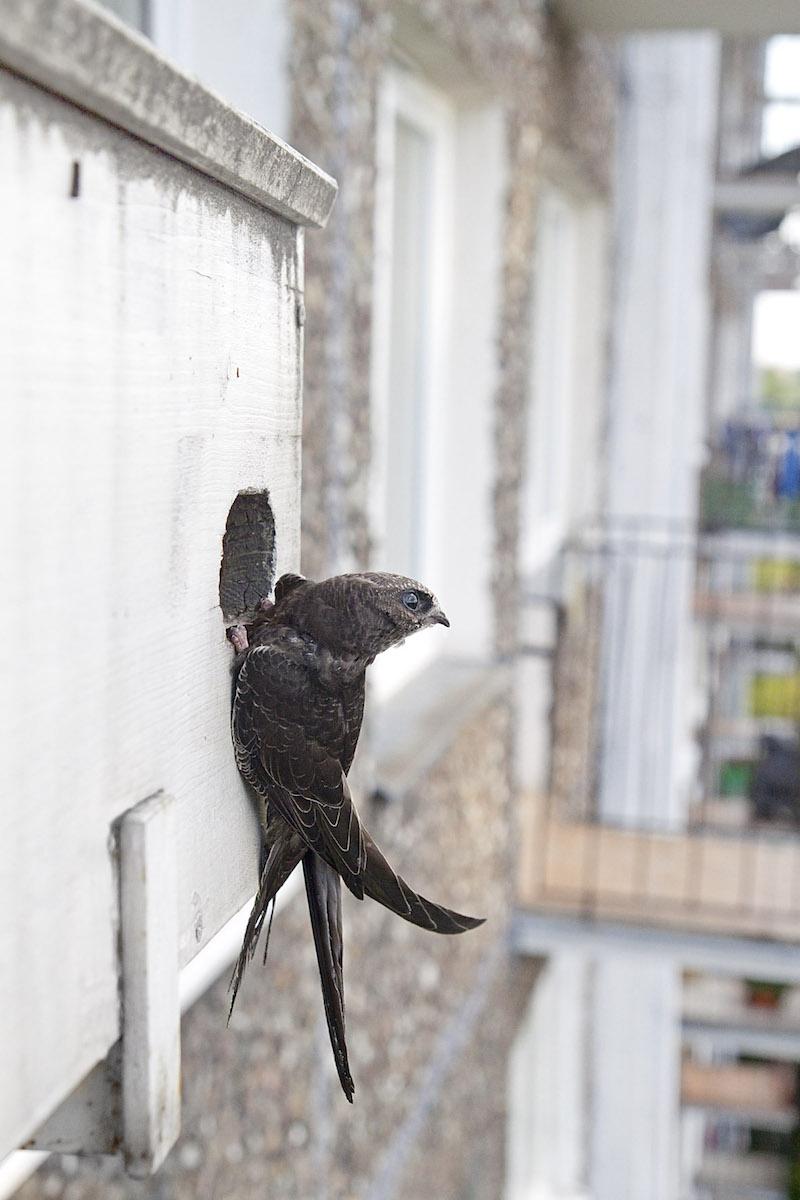 Andorinhão-preto num ninho artificial. Foto: Amikosik/Wiki Commons
