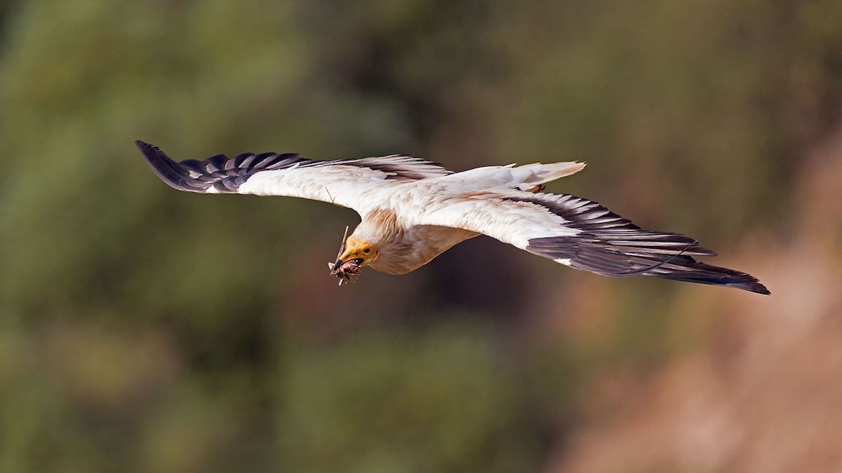 britango a voar