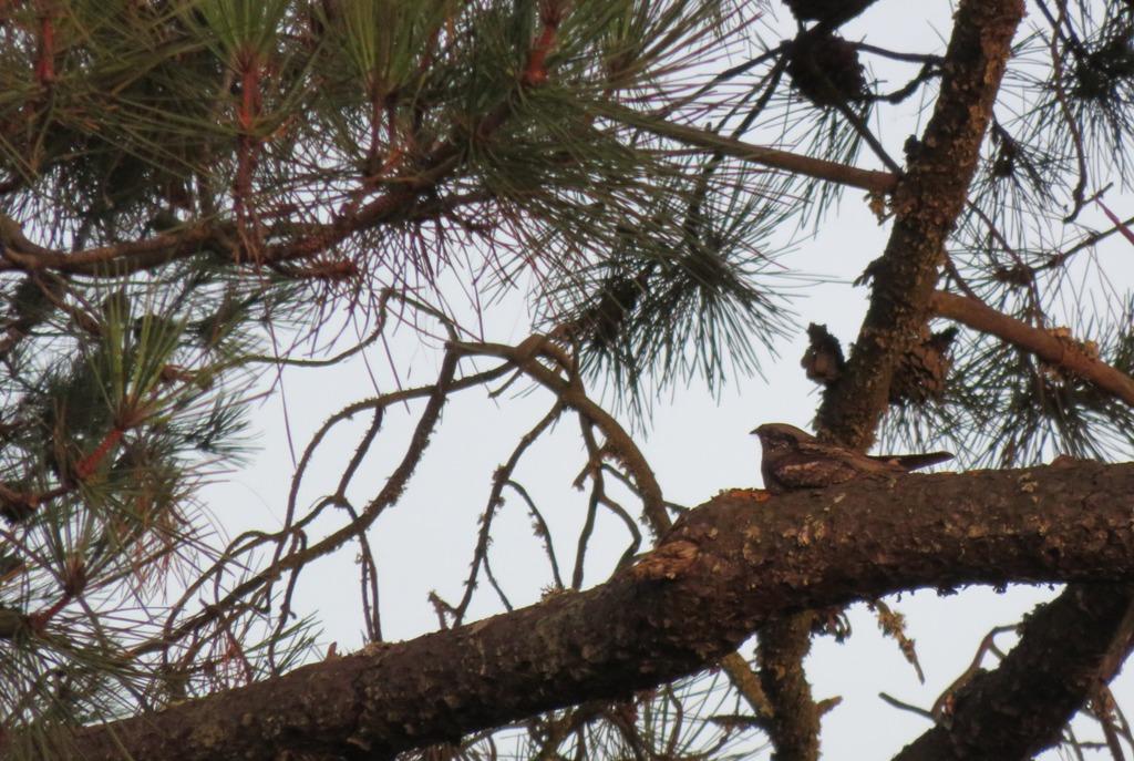 pequena-ave-castanha-repousa-em-cima-de-um-ramode-pinheiro