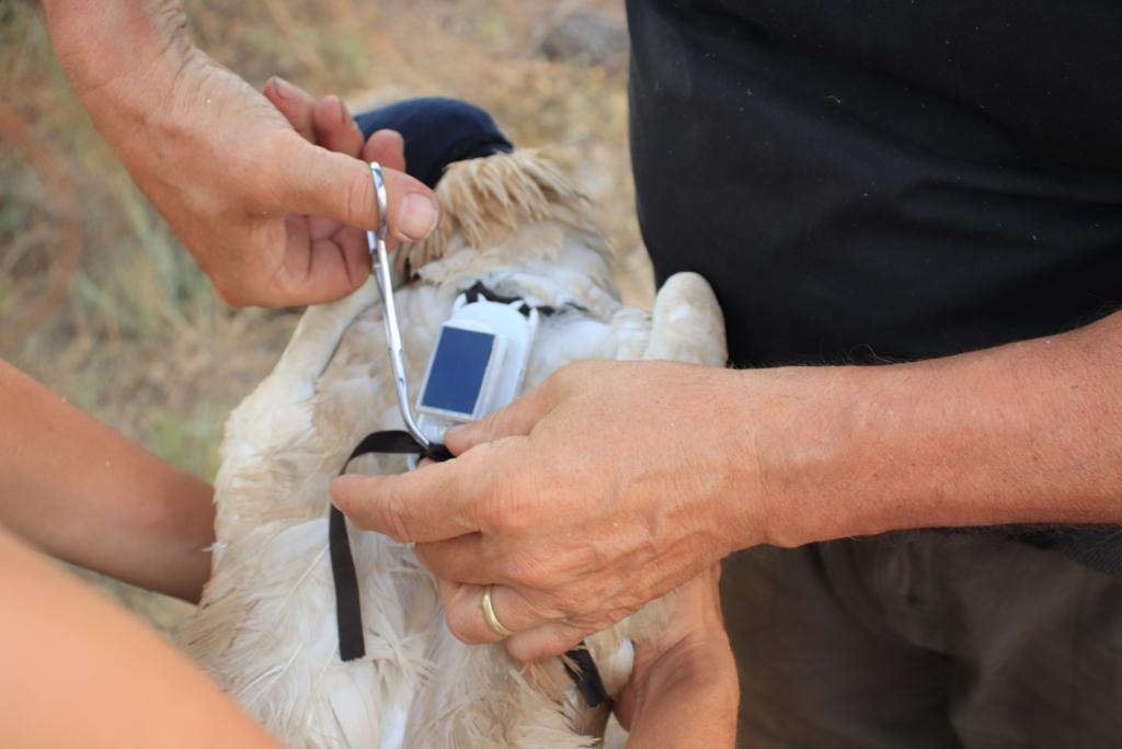 vê-se-um-emissor-GSM-a-ser-colocado-num-abutre-do-egipto