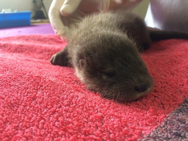 uma-pequena-lontra-castanha-está-deitada-sobre-um-tapete