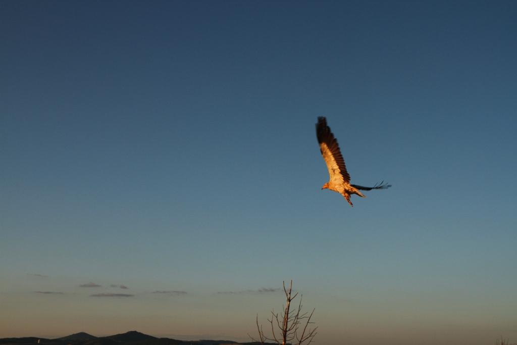 um-abutre-do-egipto-de-asas-abertas-visto-de-baixo-para-cima-a-voar