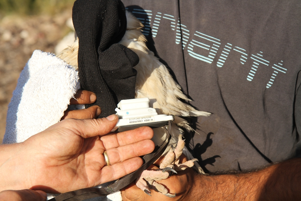 vê-se-um-emissor-GPS-colocado-num-abutre-do-egipto