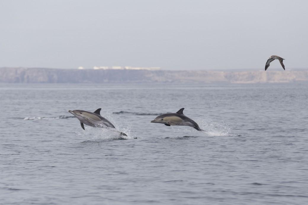 dois golfinhos saltam fora da água do mar