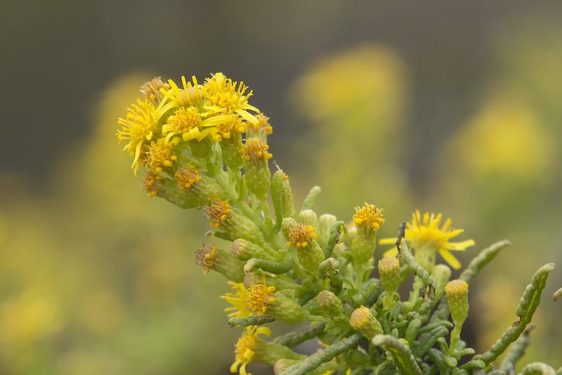 uma planta com pequenas flores amarelas