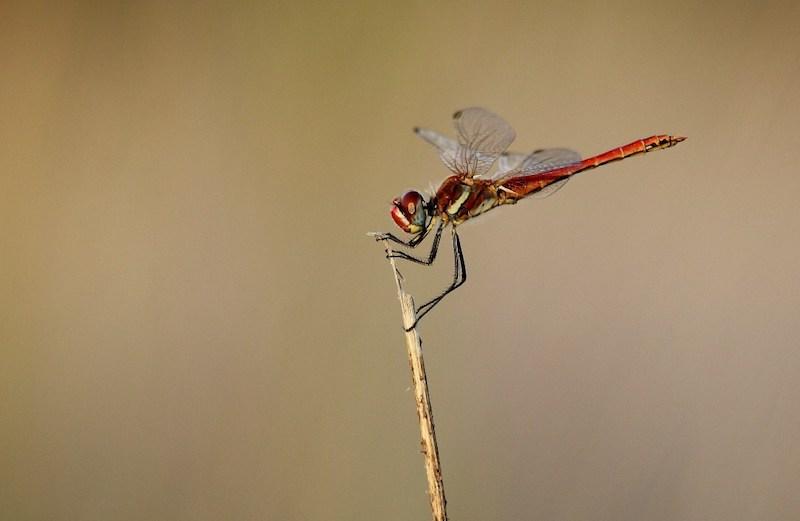 libélula de corpo vermelho pousada num pequeno ramo