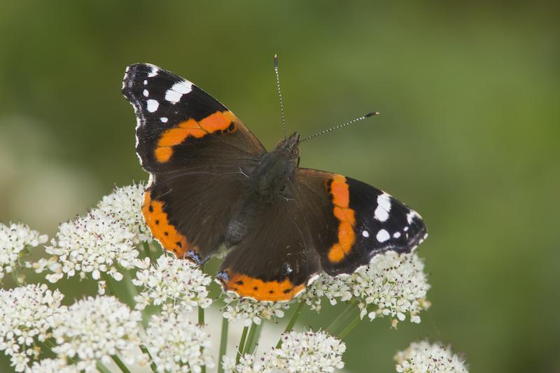 borboleta de asas pretas com riscas laranjas e brancas