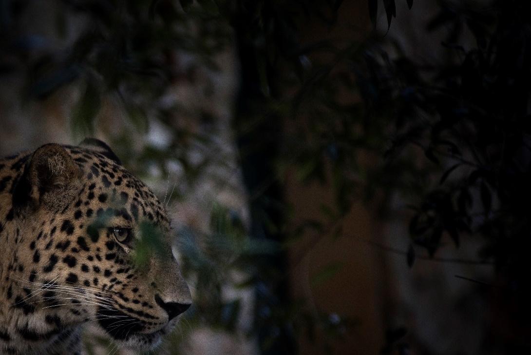 leopardo da pérsia no Jardim Zoológico de Lisboa