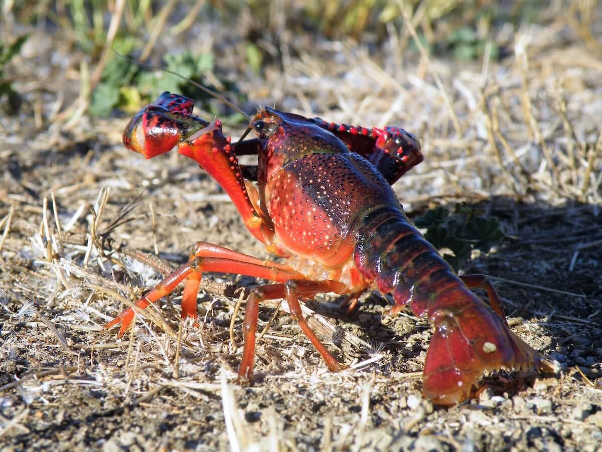 Lagostim-vermelho-da-Louisiana macho em dispersão terrestre, Serra de Grândola