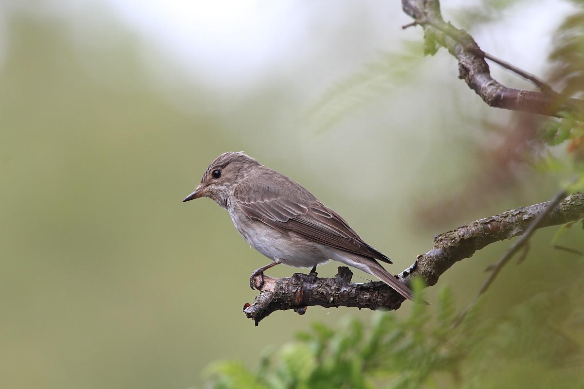 pequena ave cinzenta e castanha pousada num ramo