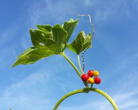 folha e frutos da briónia-branca