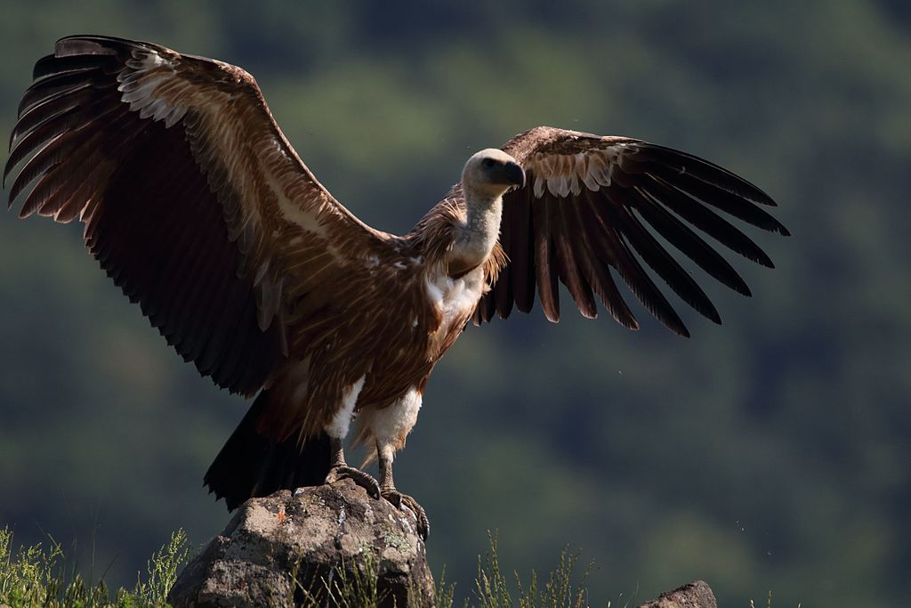 Grifo de pé numa rocha, de asas abertas