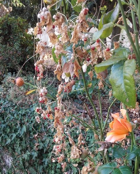 planta de pequenos frutos vermelhos agarrada a uma roseira