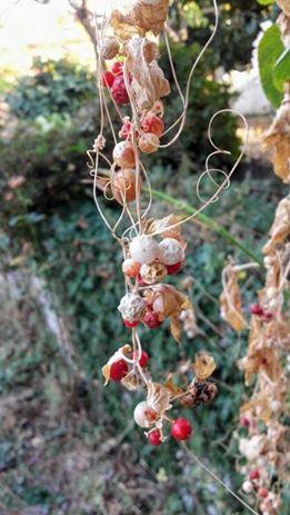 pequenos frutos redondos vermelhos e brancos da briónia branca