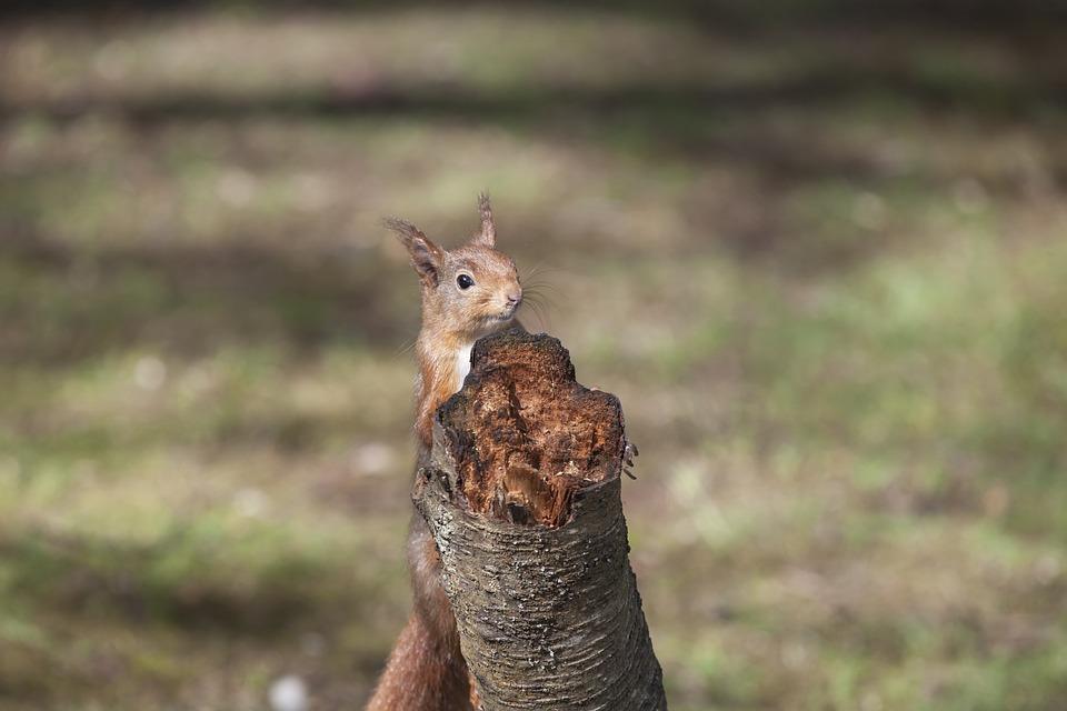 esquilo vermelho meio escondido atrás de um coto de árvore