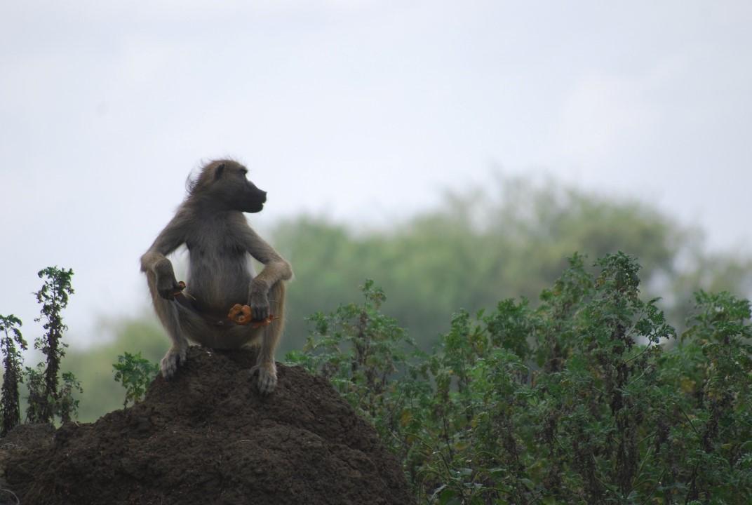 primata sentado num monte de terra