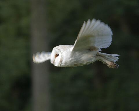 uma coruja-das-torres em voo