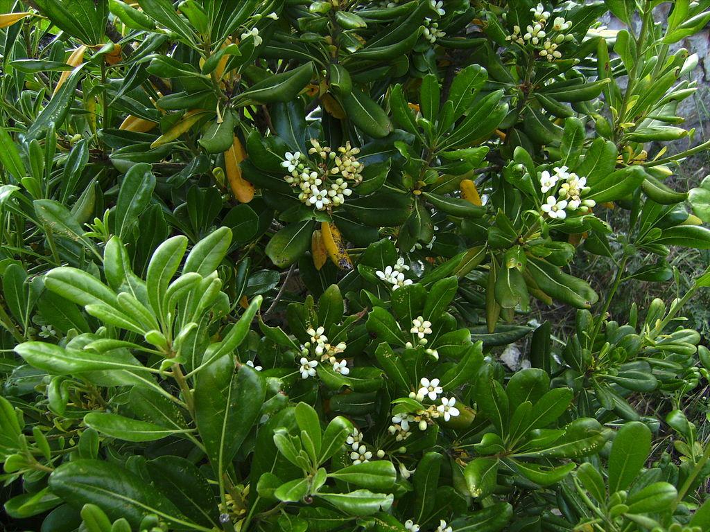 um arbusto de pitósporo-da-China