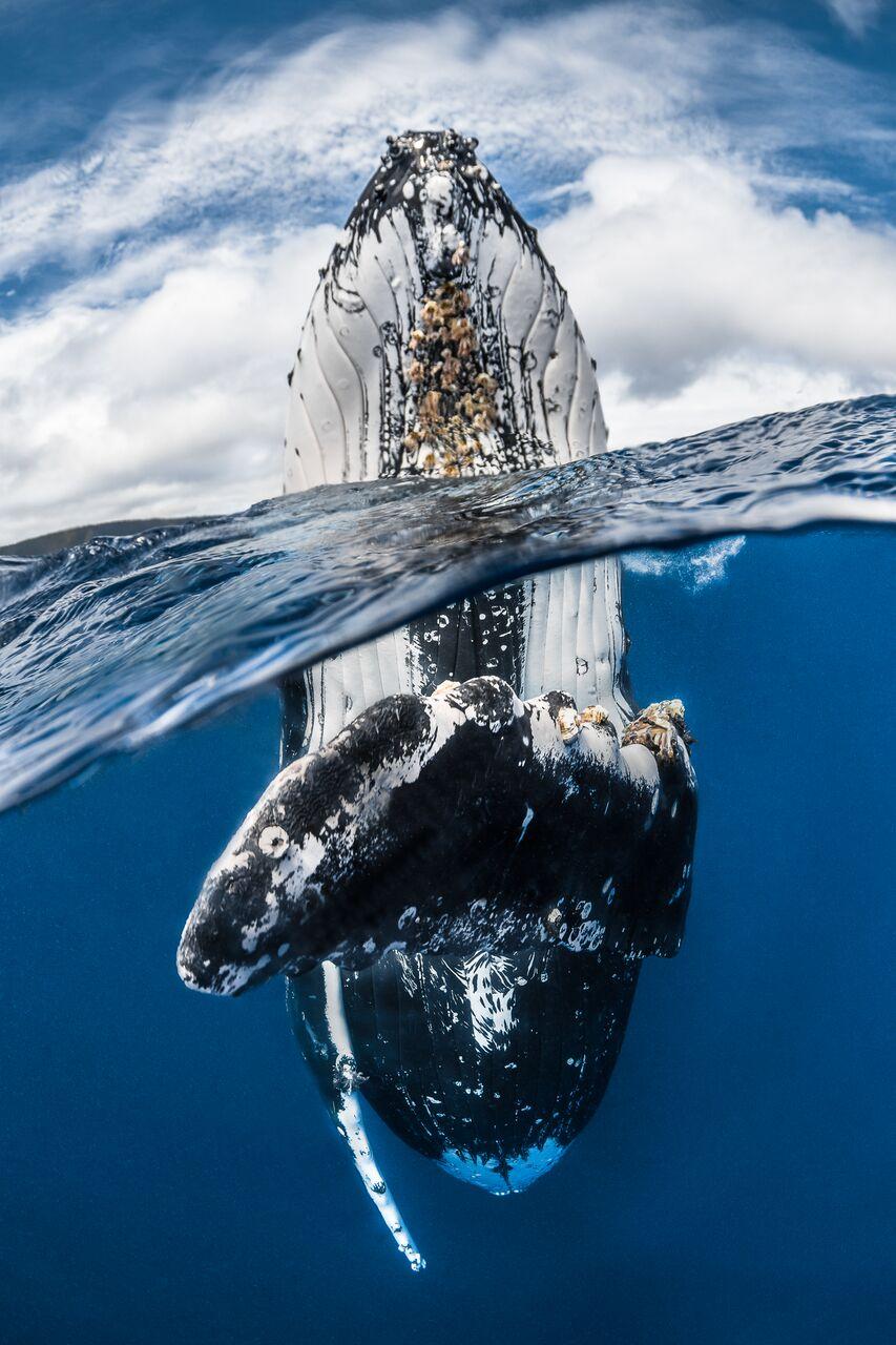 baleia de bossa