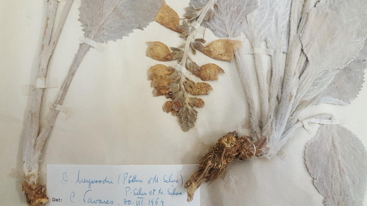 folha de herbário