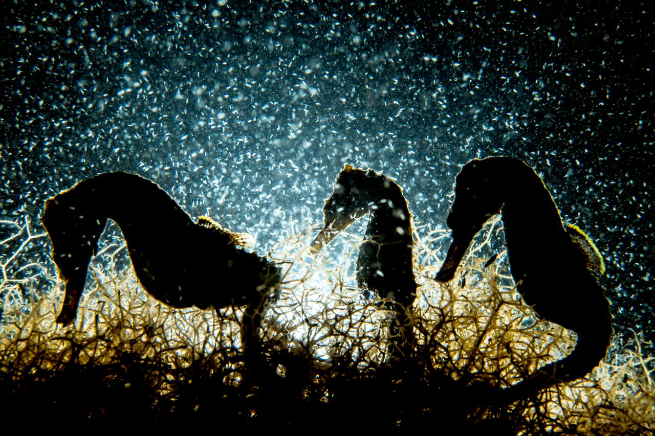 cavalos marinhos em contra-luz debaixo da água