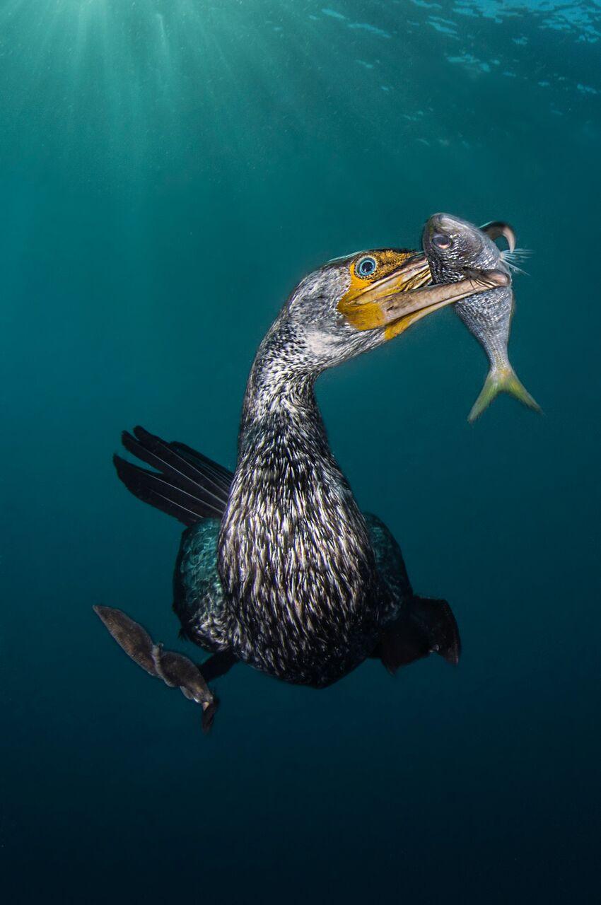 corvo-marinho asiático com um peixe no bico