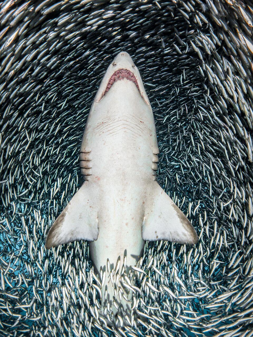 um tubarão rodeado por pequenos peixes