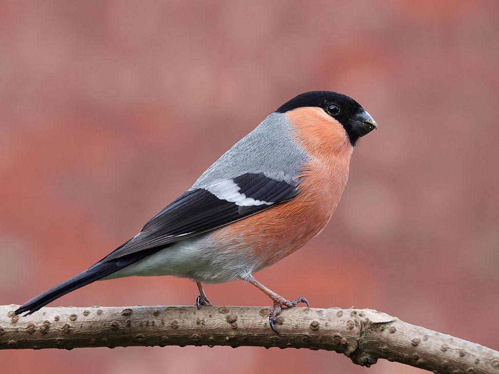uma ave da espécie dom fafe, pousada num ramo