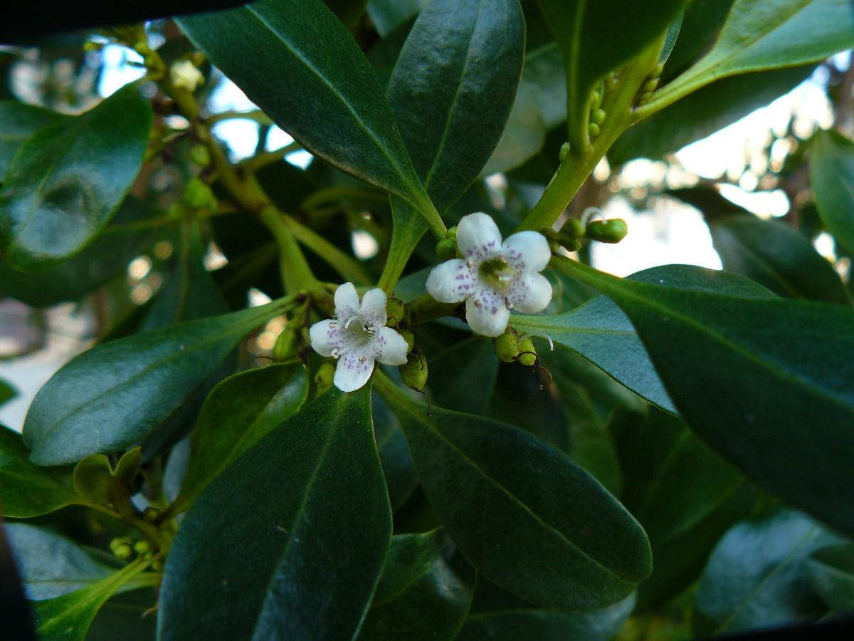 flor da myoporum laetum
