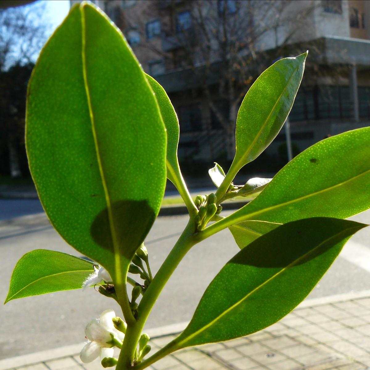 folhas contra-luz da Myoporum laetum