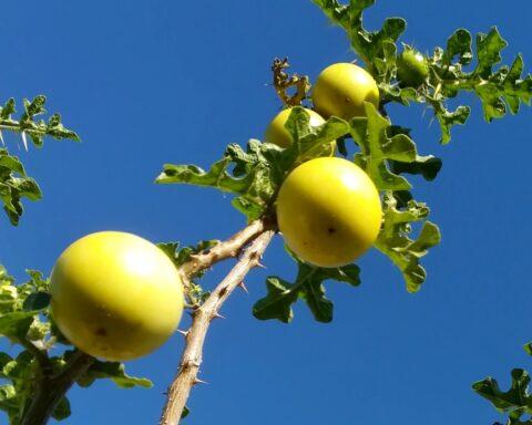 ramo de um tomateiro-do-diabo, com os frutos amarelos