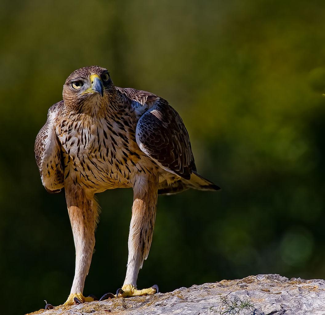 águia-perdigueira, de frente