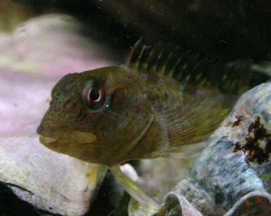 um Lipophrys pholis dentro de água