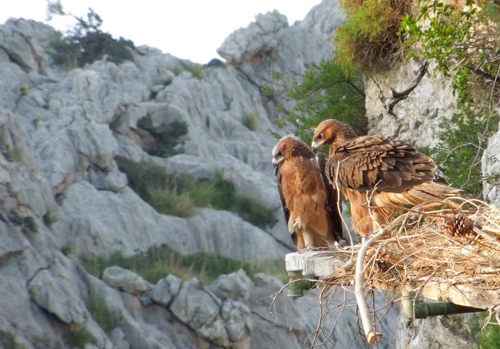 duas águias no ninho