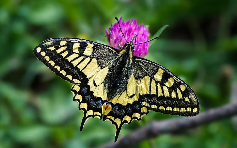 borboleta cauda-de-andorinha vista de cima, pousada numa flor