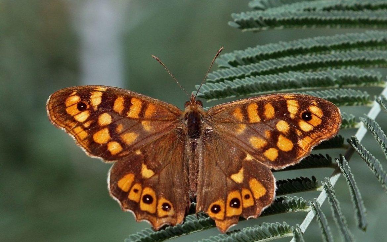 uma borboleta malhadinha pousada numa folha
