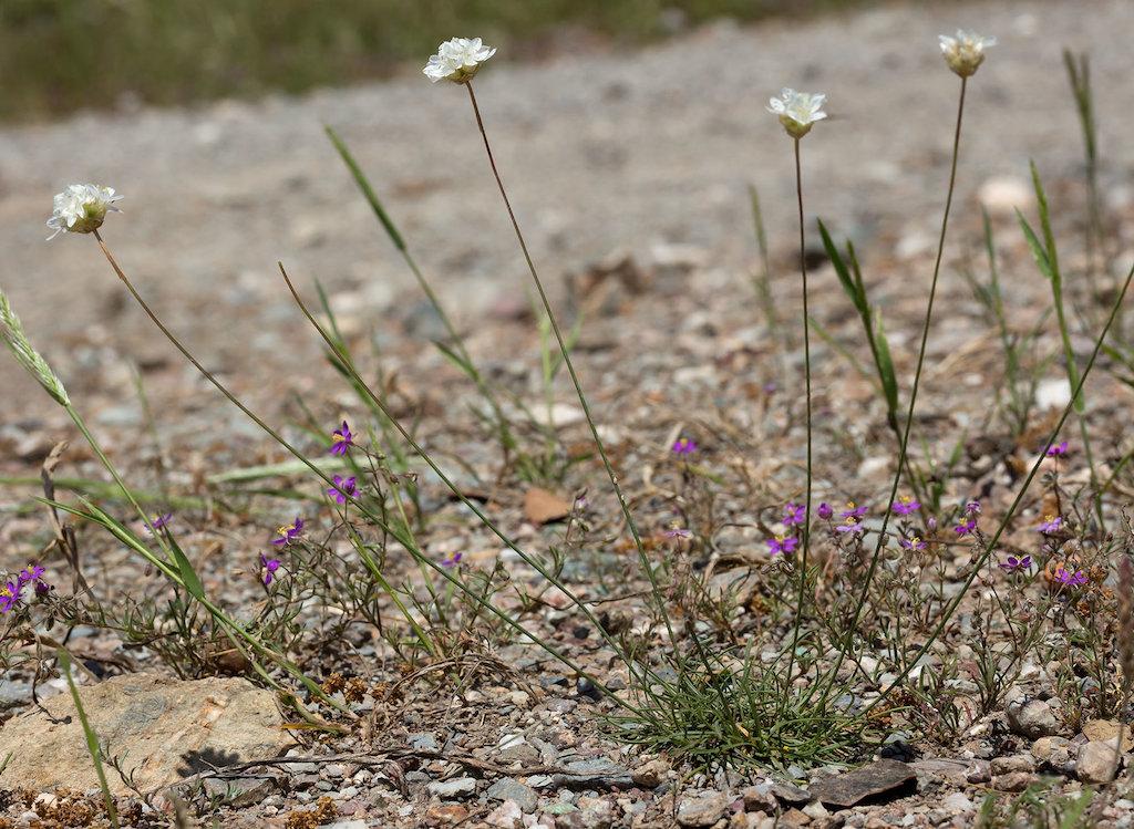 flores da Armeria linkiana