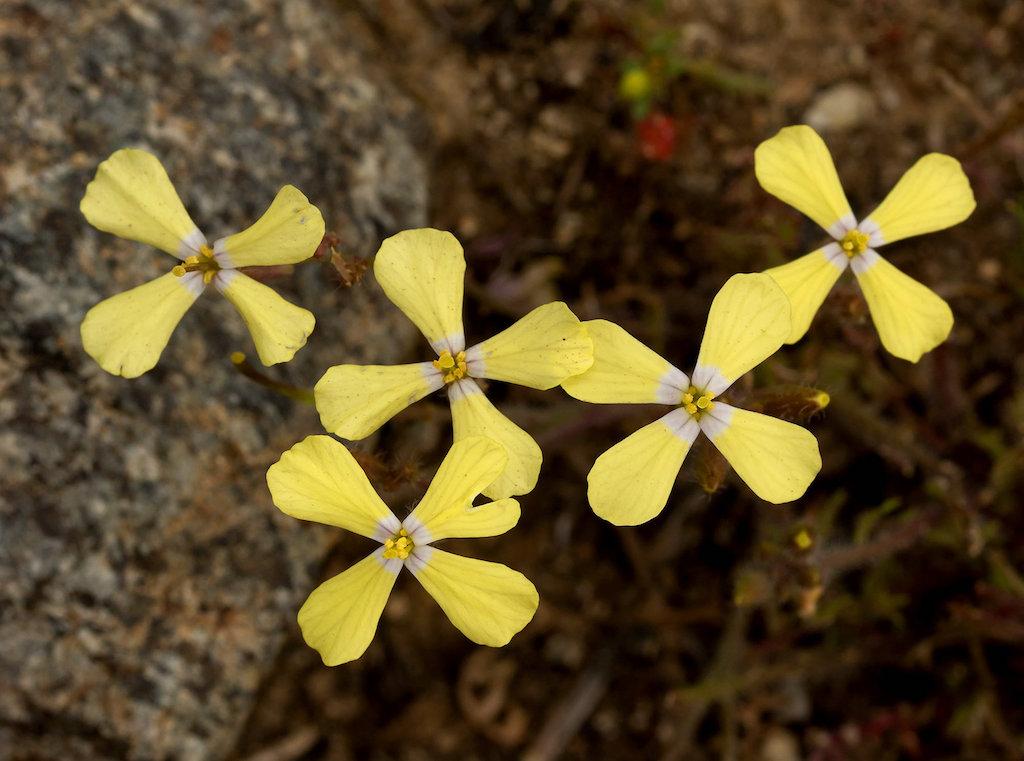 Flores de tom amarelado e de quatro pétalas da Coincya transtagana.