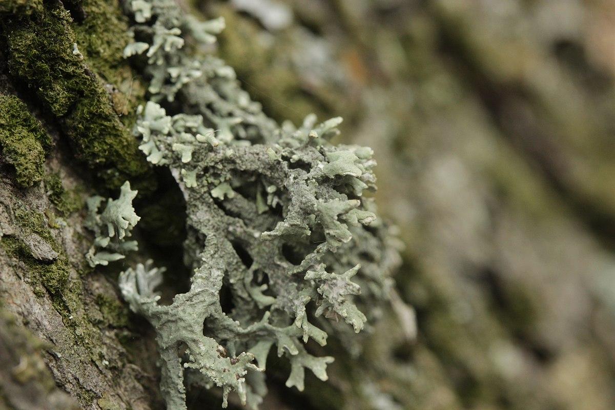 líquene em tronco de árvore