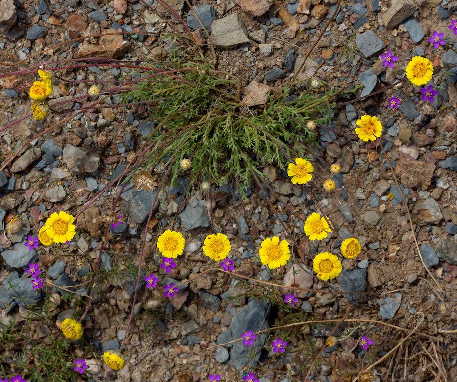 várias flores de Prolongoa hispanica