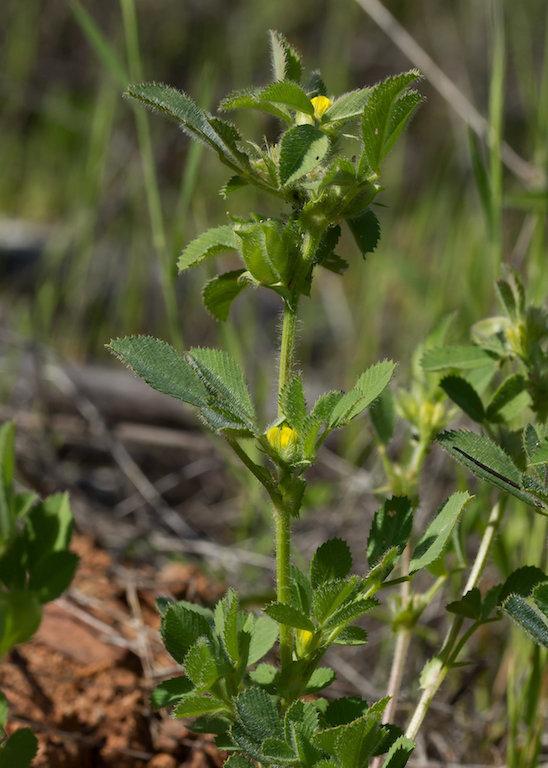 uma planta da espécie Trigonella ovais.